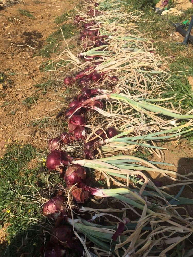 Onions picked by volunteers at the Organic Farm